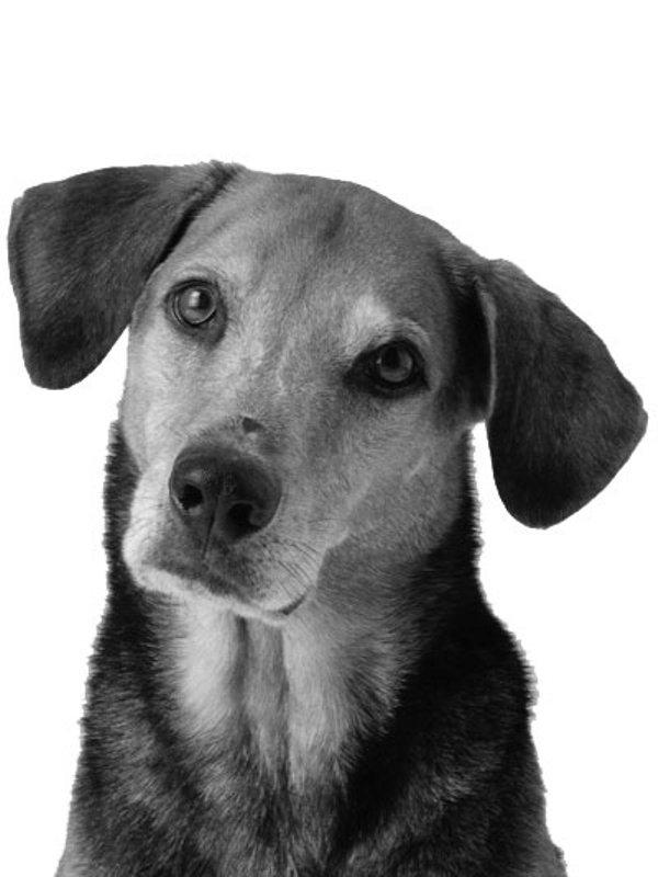 dog hotlink for embedding http ereaderbackgrounds com pets bw dog jpg 600x800