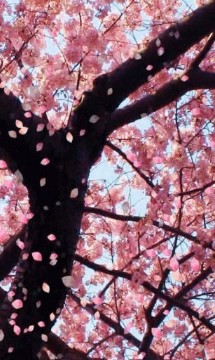 Cherry Blossom Tree Iphone Wallpaper View bigger   cherry blossom 307x512