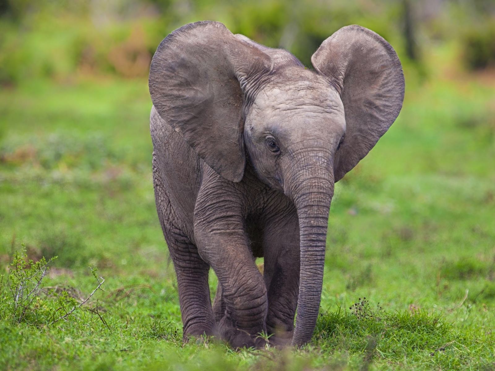 Download Animals Chrome Elephants Baby Elephant Safari Wallpaper 1600x1200
