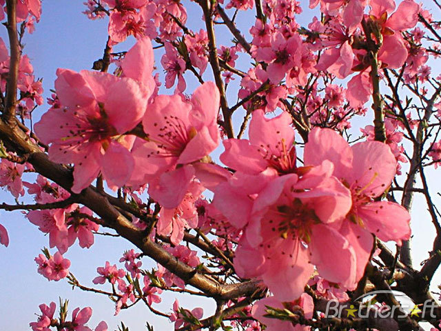 Download Blooming Spring Screensaver Blooming Spring 640x480