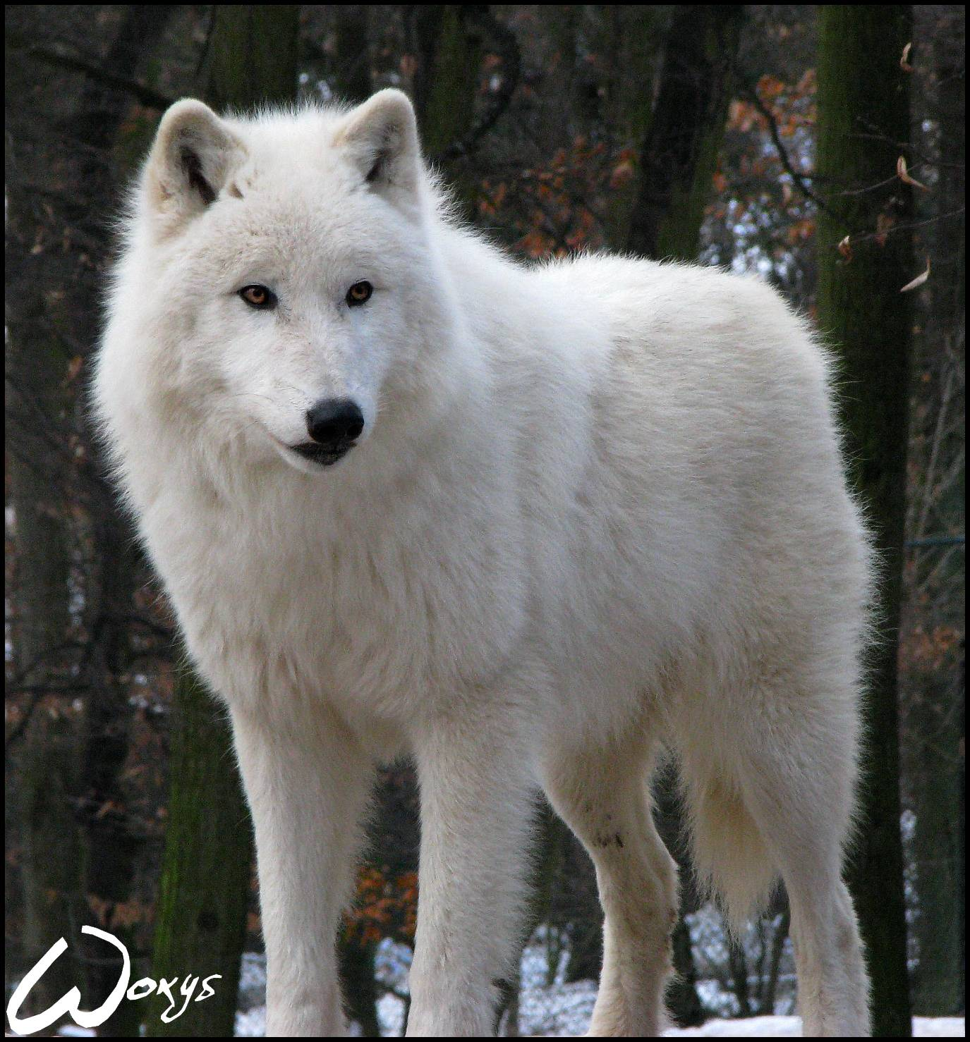 Free Download Arctic Wolf Wallpapers 1375x1478 For Your Desktop