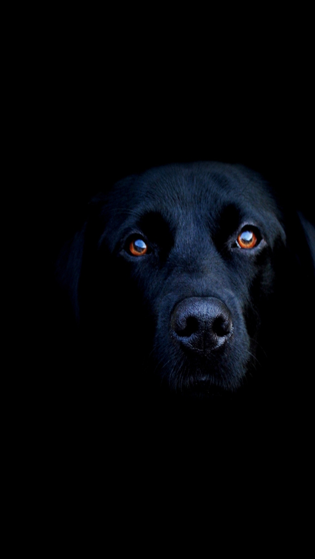 Download HD blacklab iPhone Wallpapers and Backgrounds 640x1136
