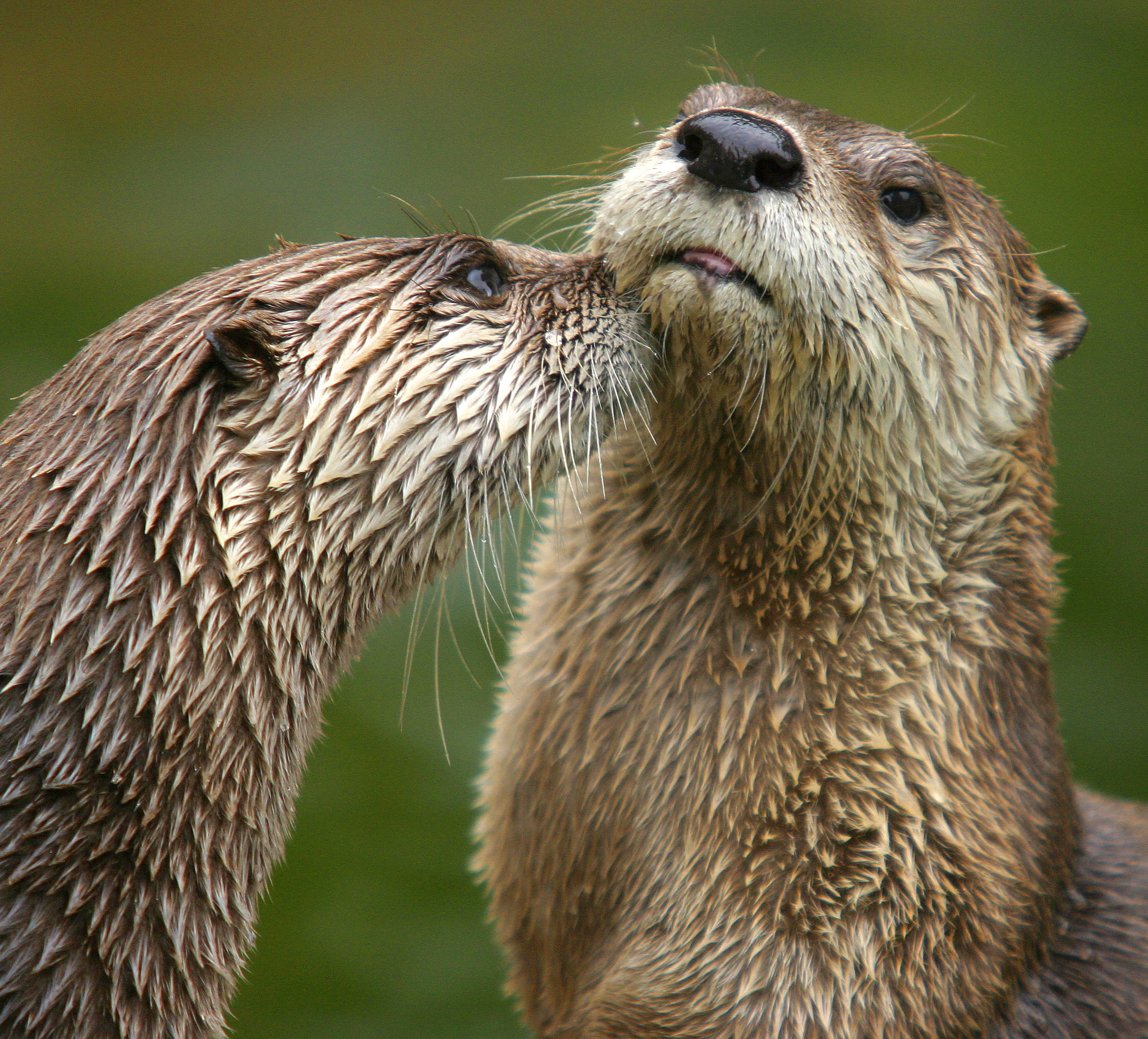 Main article Northern river otter 2262x2048