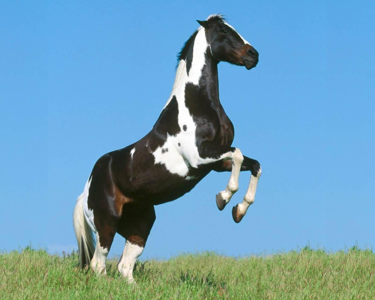 black and white horse   Horses Wallpaper 1280x1024