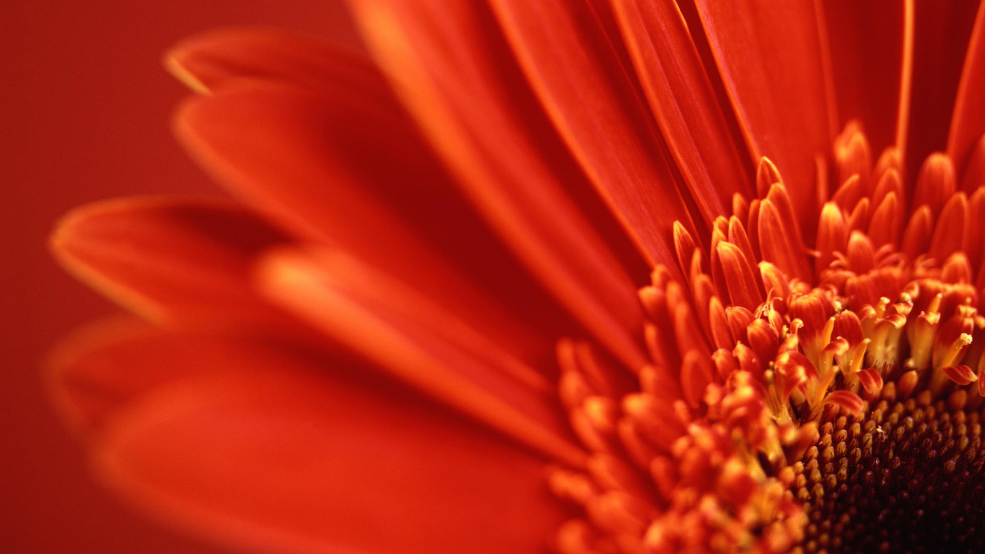 Red Gerbera Daisy Wallpapers HD Wallpapers 1920x1080