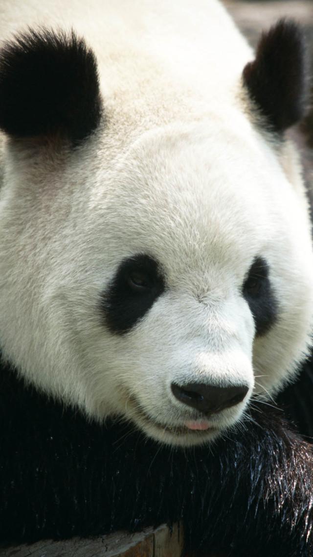 Panda Wallpaper   iPhone Wallpapers 640x1136