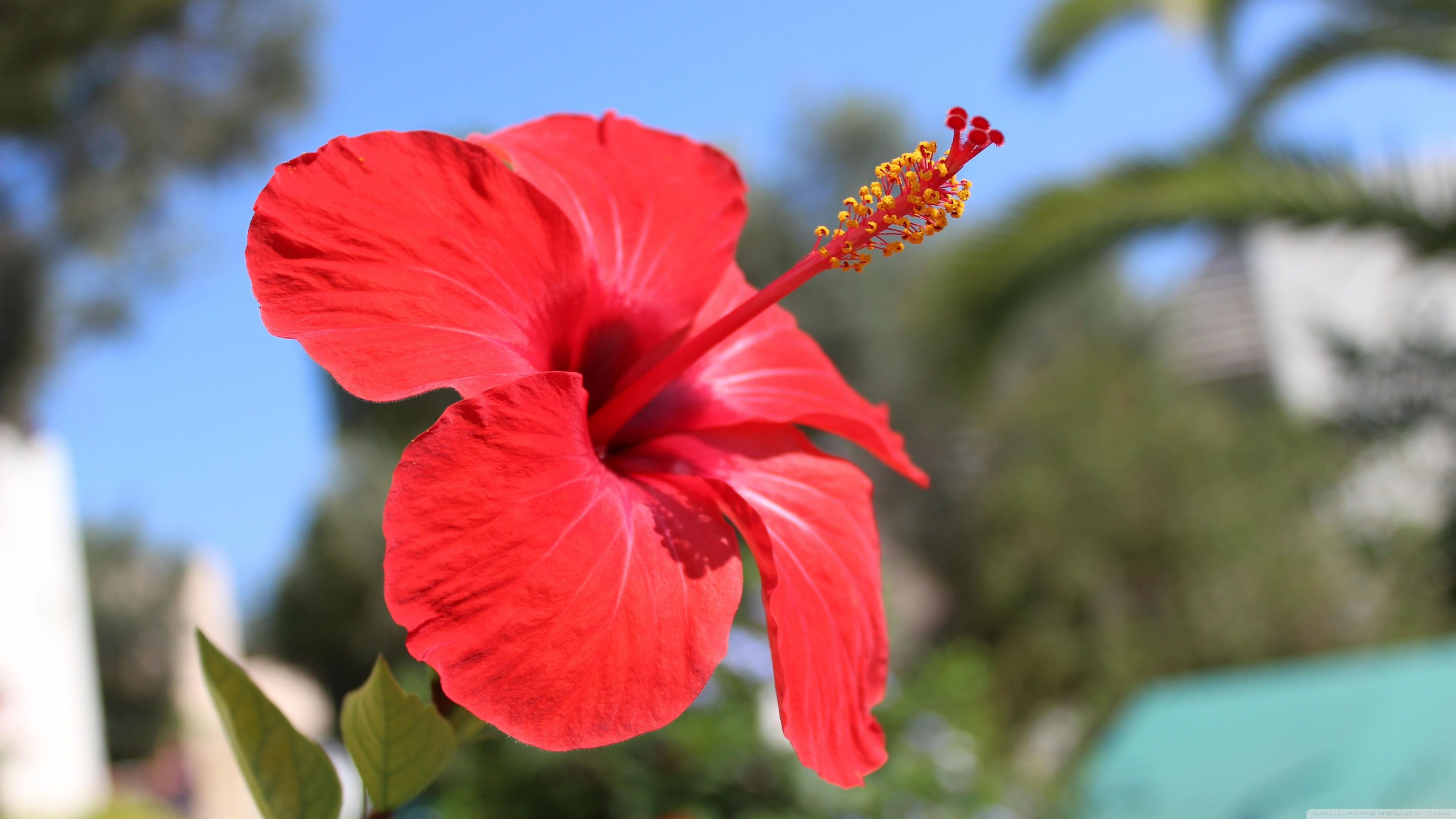 Hibiscus Flower Wallpaper 54 images 3840x2160