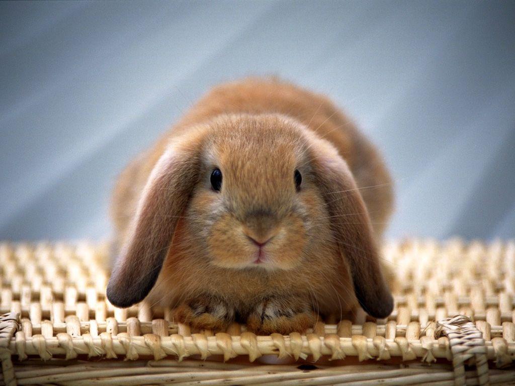 Baby Rabbit Wallpaper - WallpaperSafari