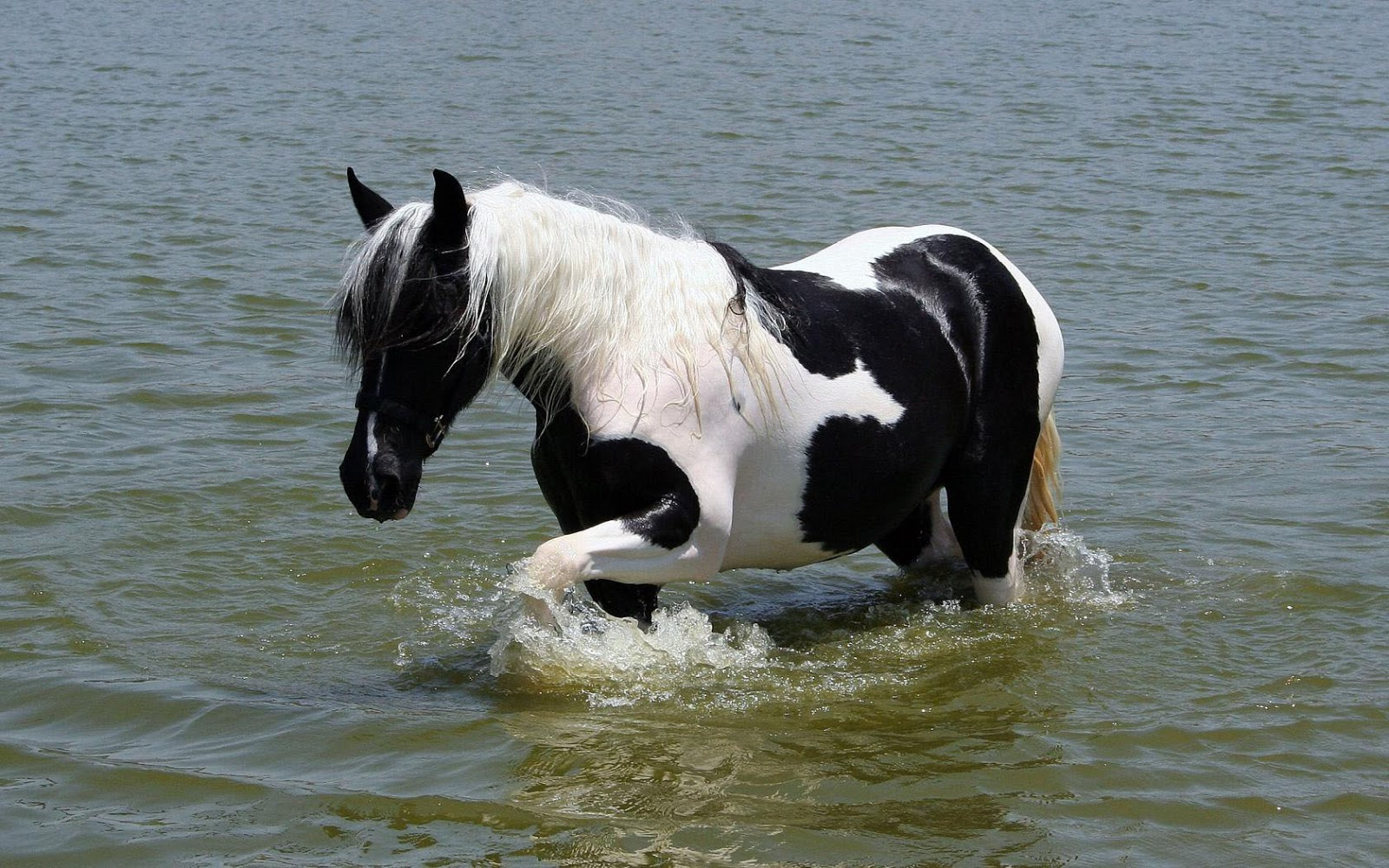 black and white horse walking through the sea HD horses wallpapers 1600x1000