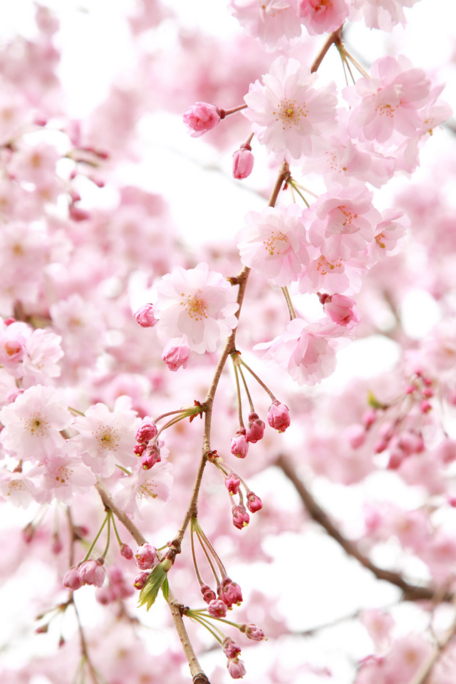 Pink Flowers Simply beautiful iPhone wallpapers 640x960