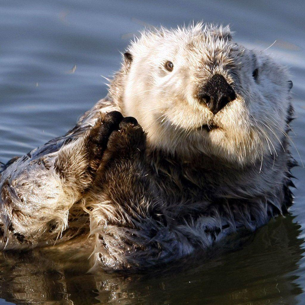 Sea Otter Wallpapers 1024x1024
