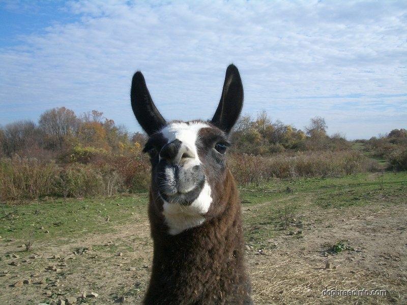 Llama Wallpaper desktop wallpaper   farm 800x600
