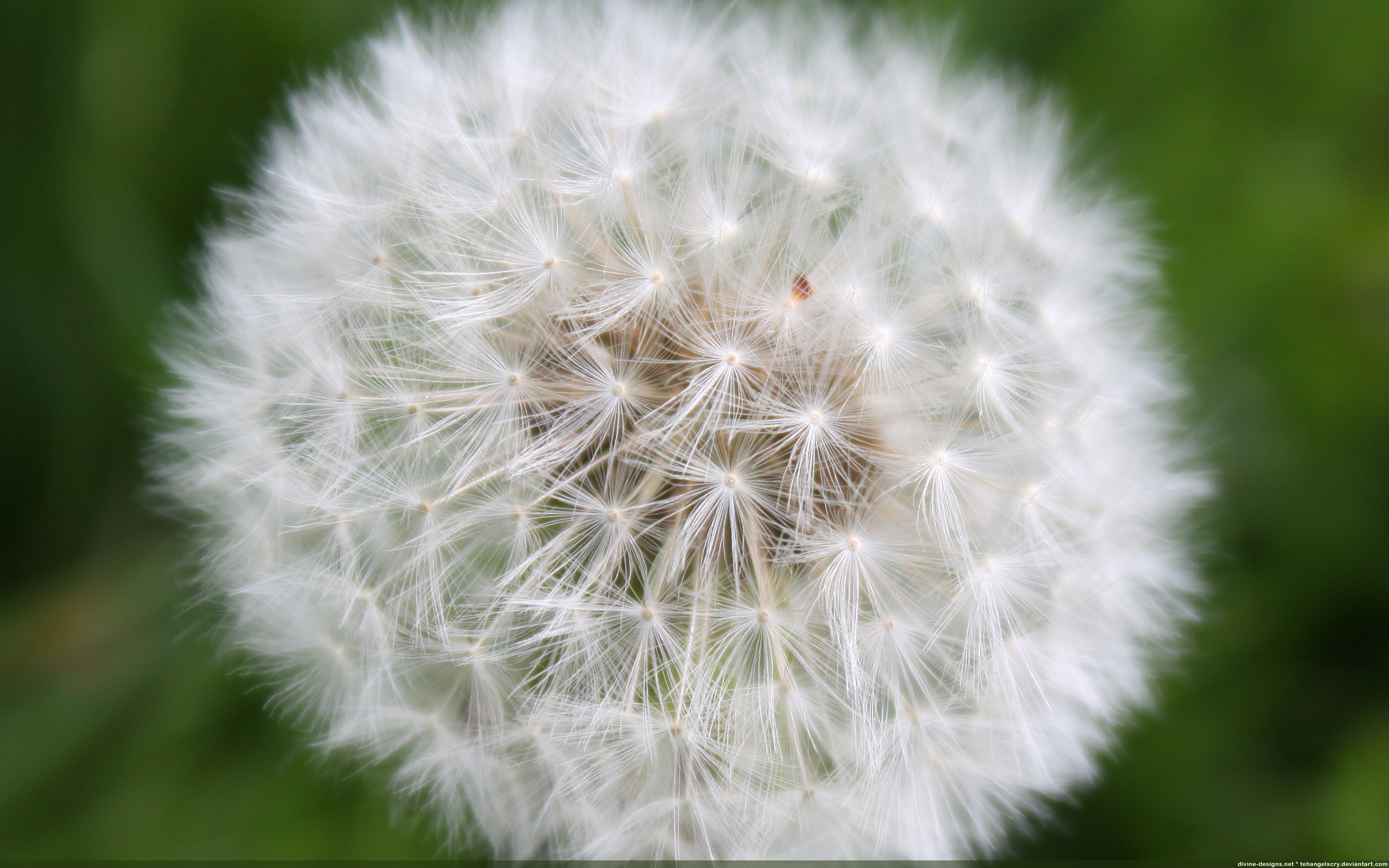 large dandelion wallpapers and images   wallpapers pictures photos 2560x1600