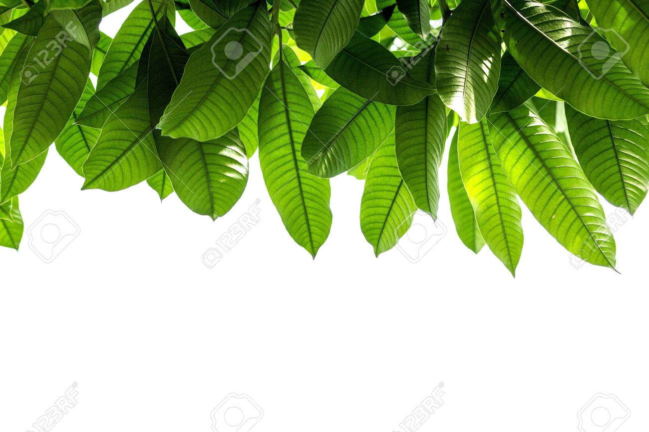 Mango Leaves On A White Background Sky Stock Photo Picture And 1300x866