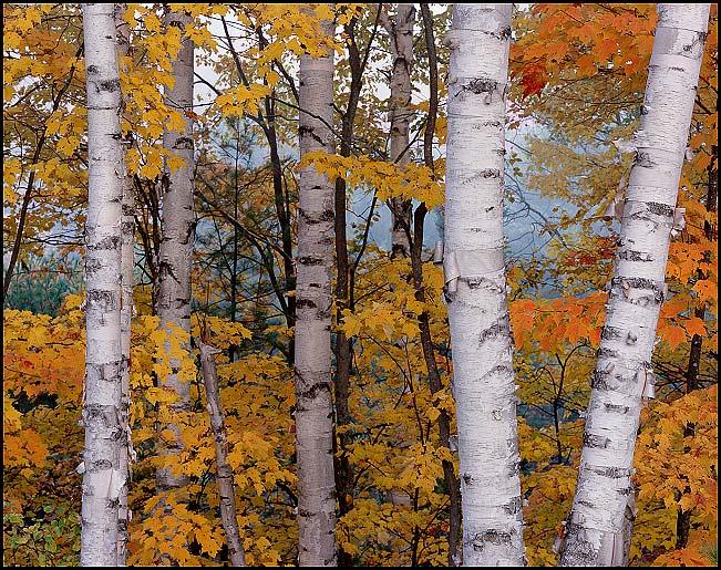 httpwwwkgcphotocomUpper Michigan Landscapeswhite birches horiz 651x515