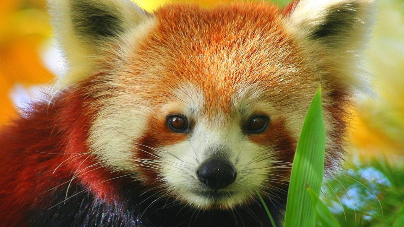 red panda Red pandas have always lived in the shadow of the other, more famous panda but now it's time to give the little guy its due currently, red pandas live in the eastern himalayas but the first red.