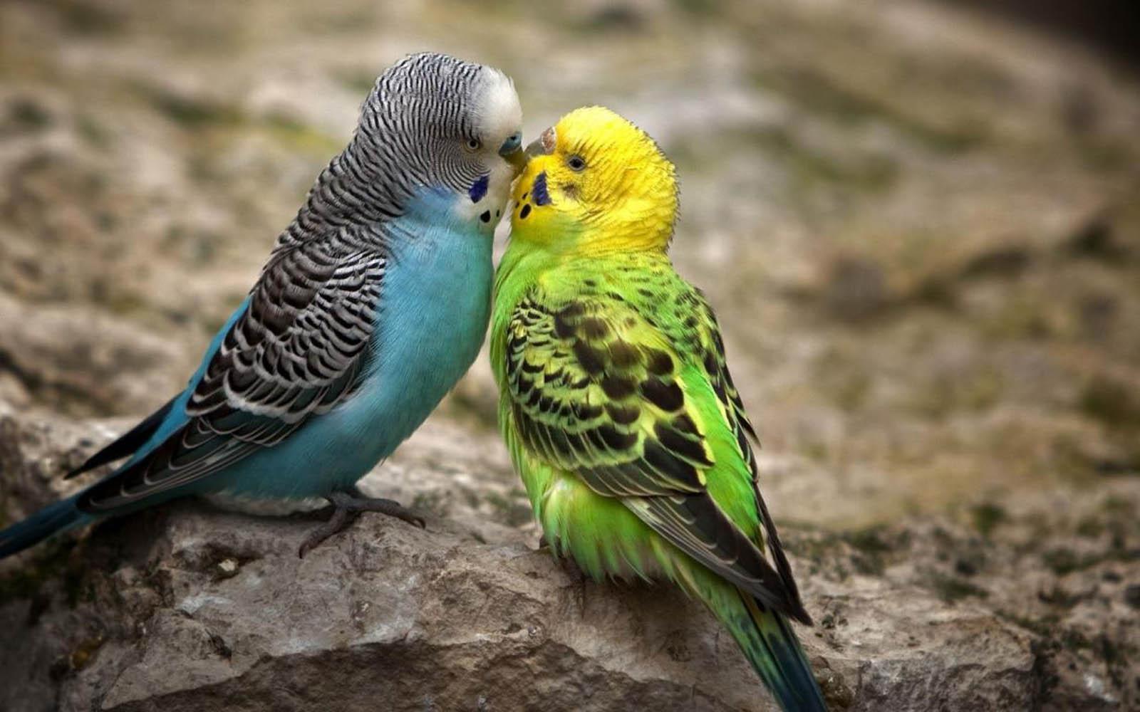 gambar burung lucu ciuman wallpaper burung cantik gambar 2 pasang 1600x1000