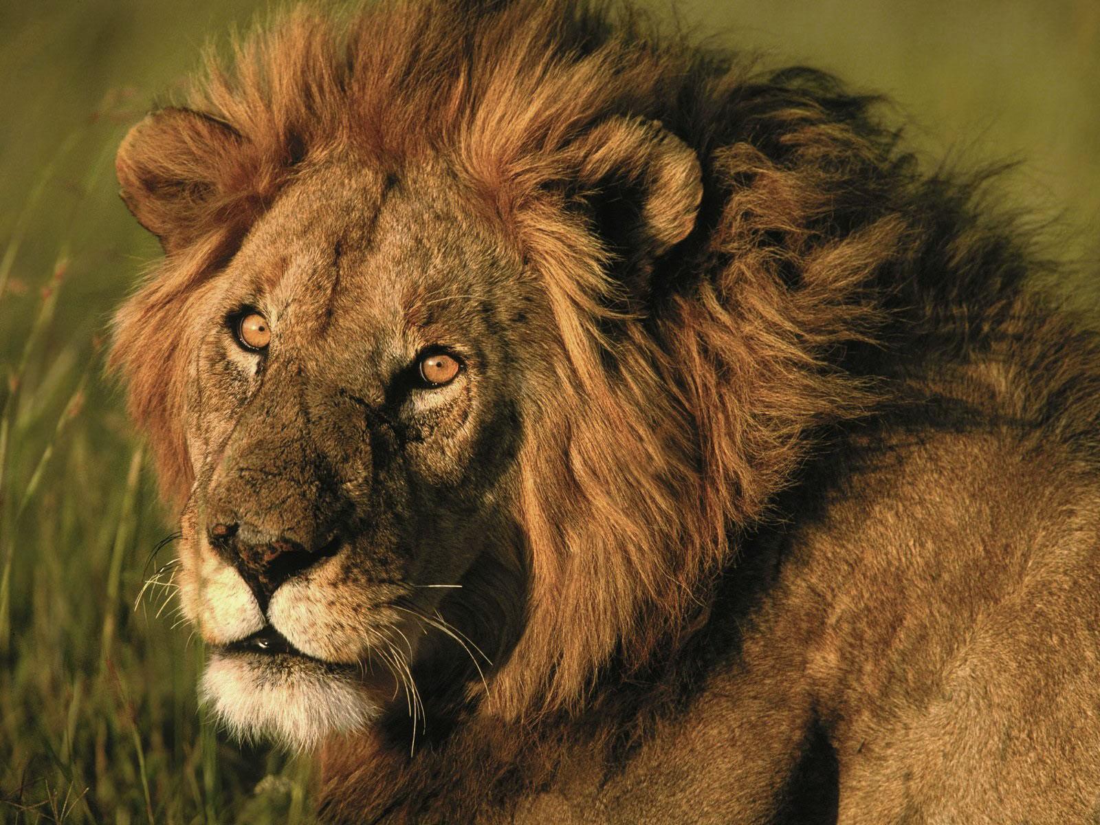 Best Desktop HD Wallpaper   Lion HD wallpapers 1600x1200