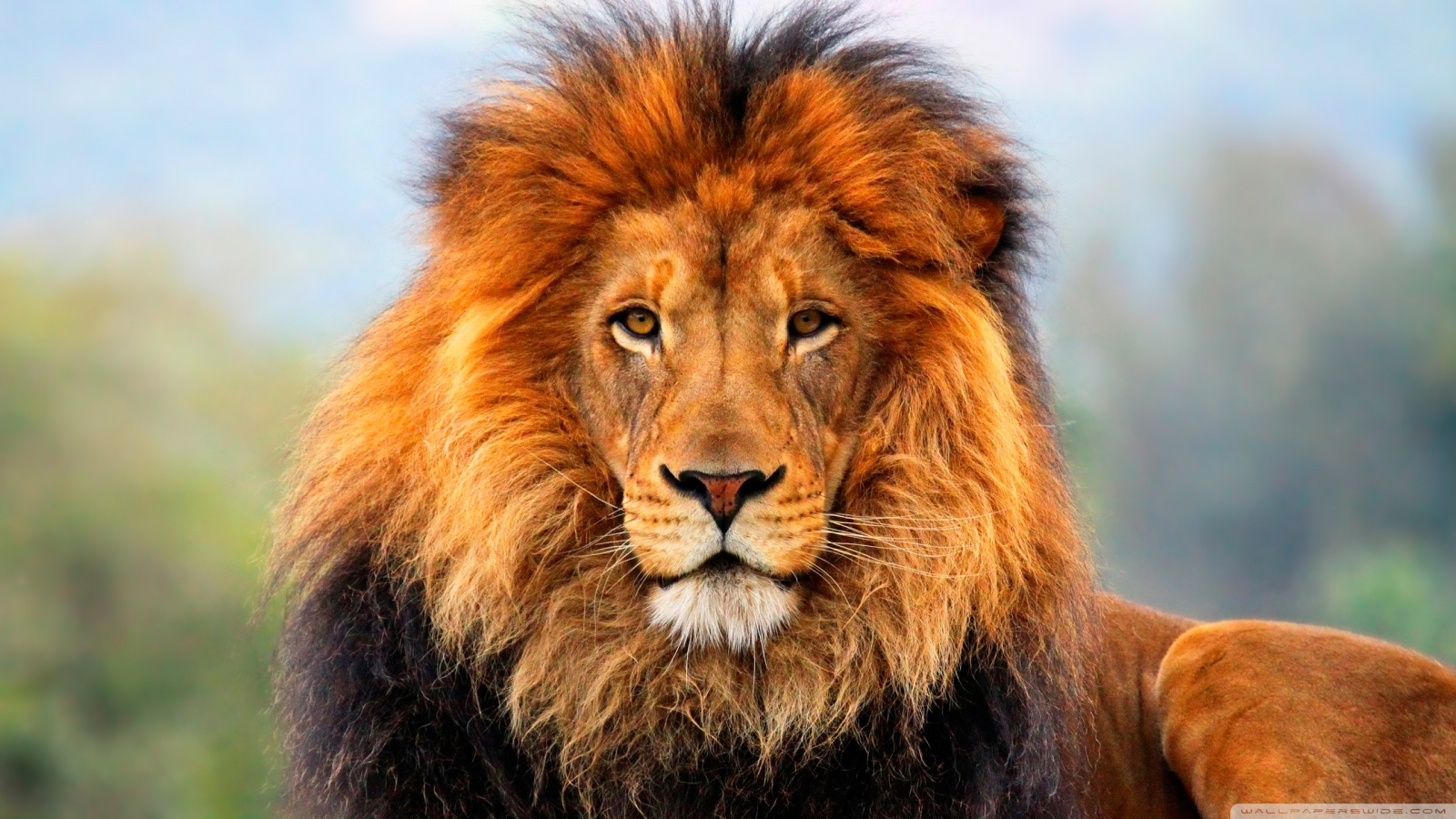 tiger lions wallpapers lion hd wallpapers lion attack hd pictures lion 1600x900