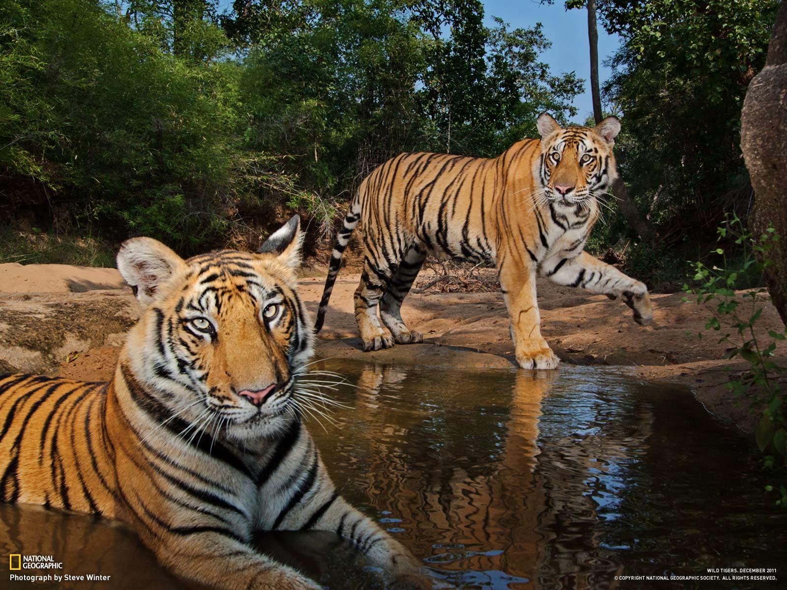 Tiger Top HD Background Mac Wallpaper Wallpaper Tiger 11100 1600x1200