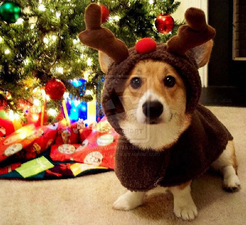 40 christmas pictures to get you into the holiday spirit psdeluxe 500x456 - Christmas Corgi