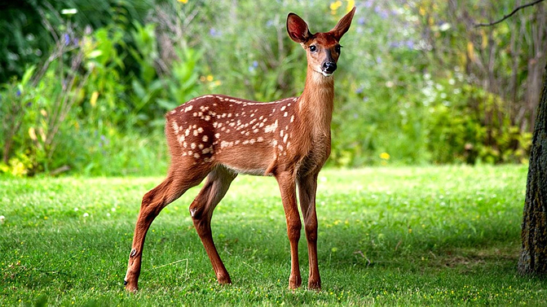 24 Fawn HD Wallpapers Background Images 1920x1080