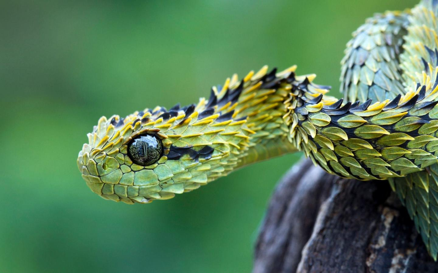 Animals snakes viper reptiles skin wallpaper 29478 1440x900