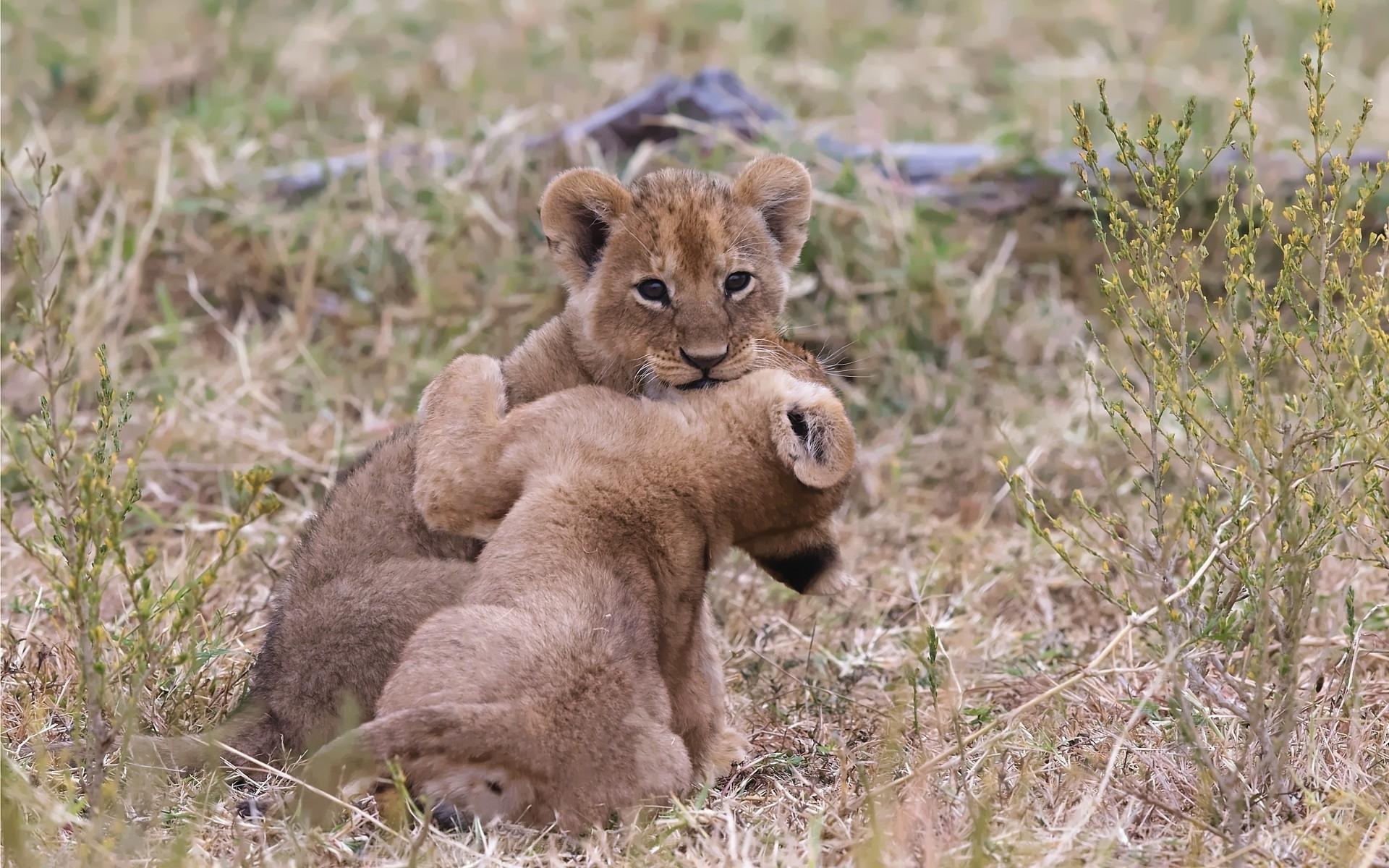 Lion cubs wallpaper 28514 1920x1200
