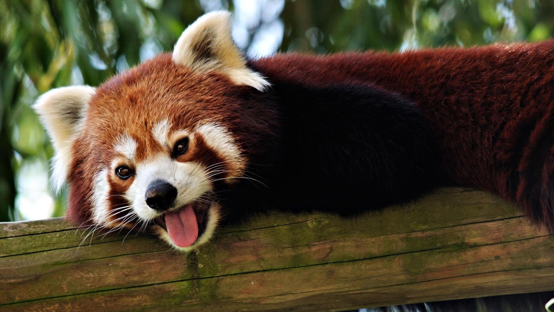 Red Panda  № 1564092 загрузить