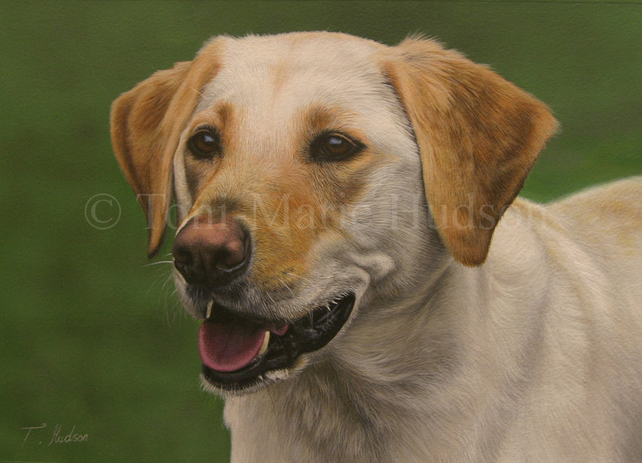 Molly   Yellow Lab portrait by Canis Lupess 900x649