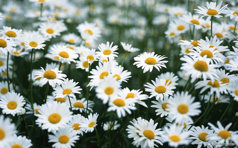 White Daisy Flower Tumblr 1440x900