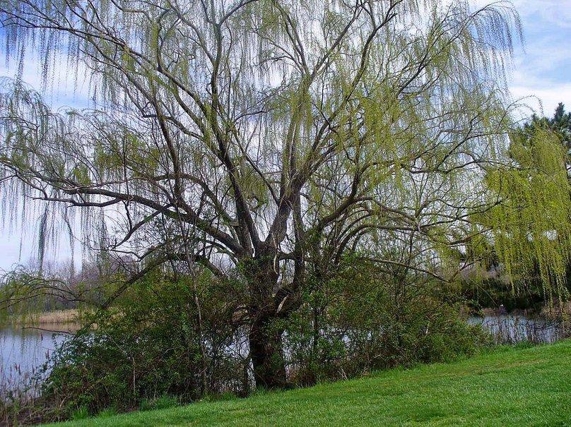 Weeping willow wallpaper   ForWallpapercom 808x605