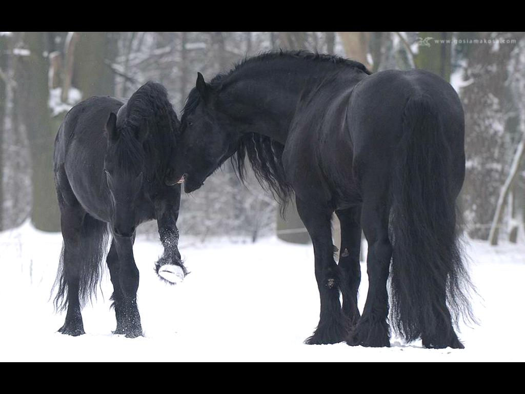 Friesian horses enjoy winter wallpaper   ForWallpapercom 1024x768