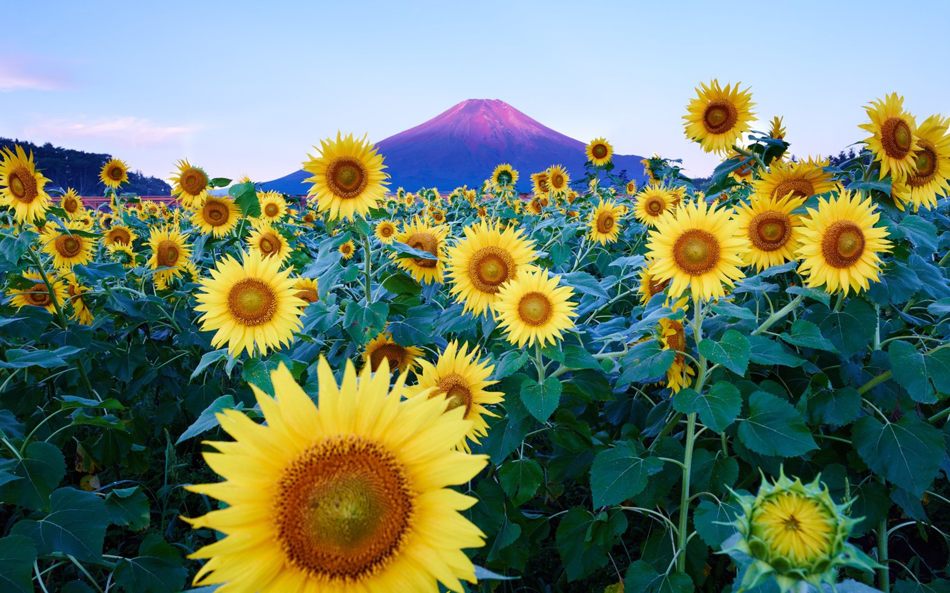 Sunflower field Widescreen Wallpaper   20965 1920x1200