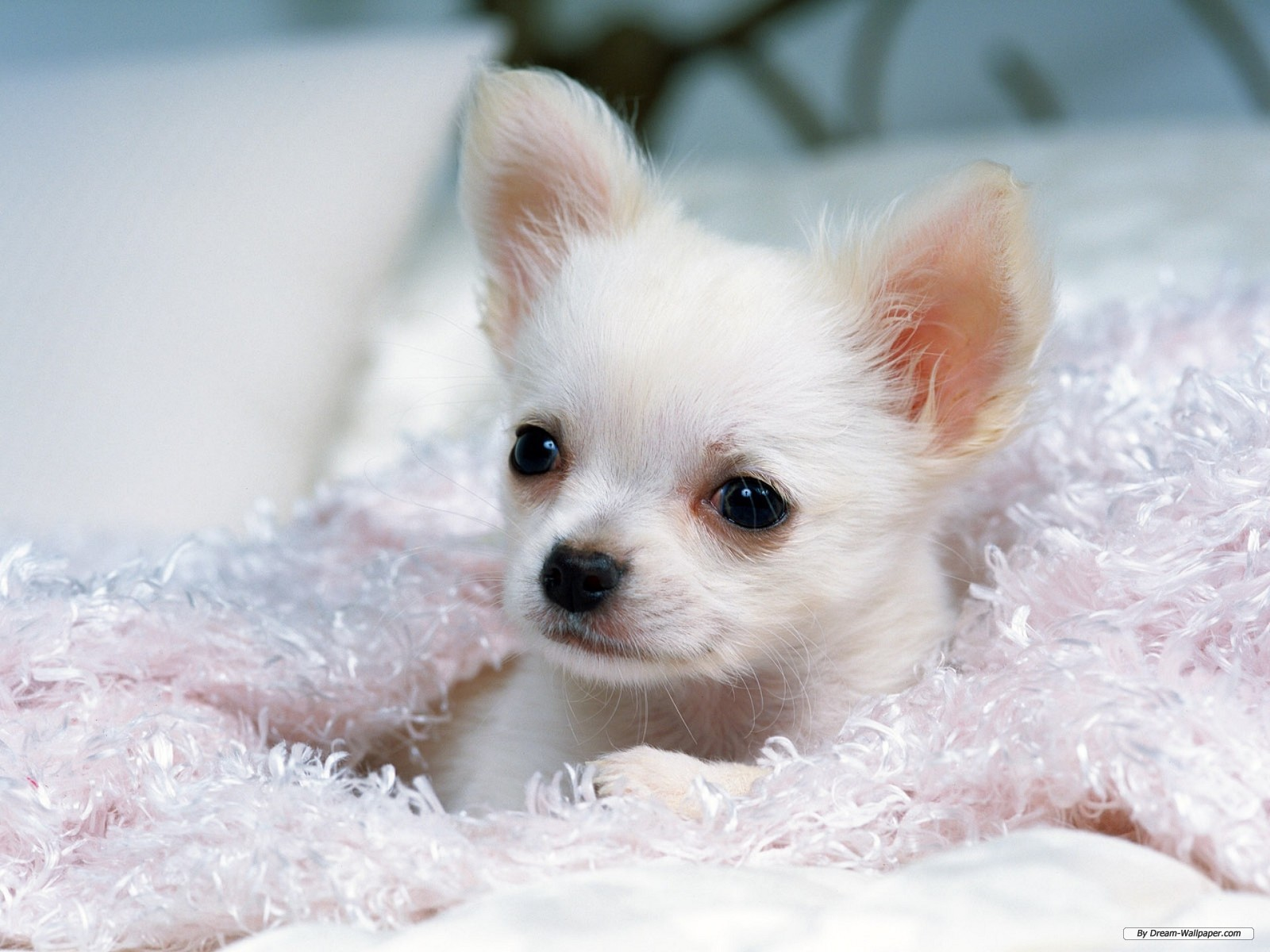 Animal wallpaper   Chihuahua wallpaper   1600x1200 wallpaper 1600x1200