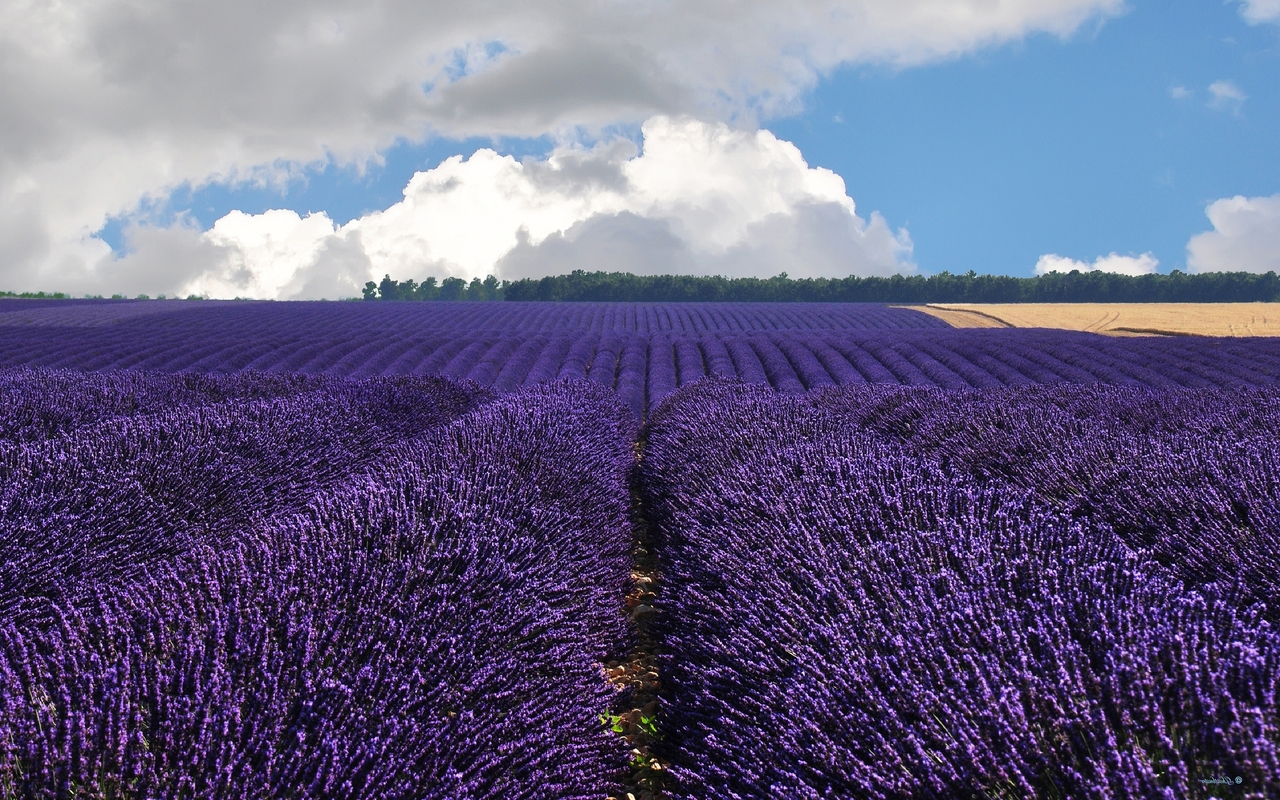 Lavender field wallpaper 1280x800