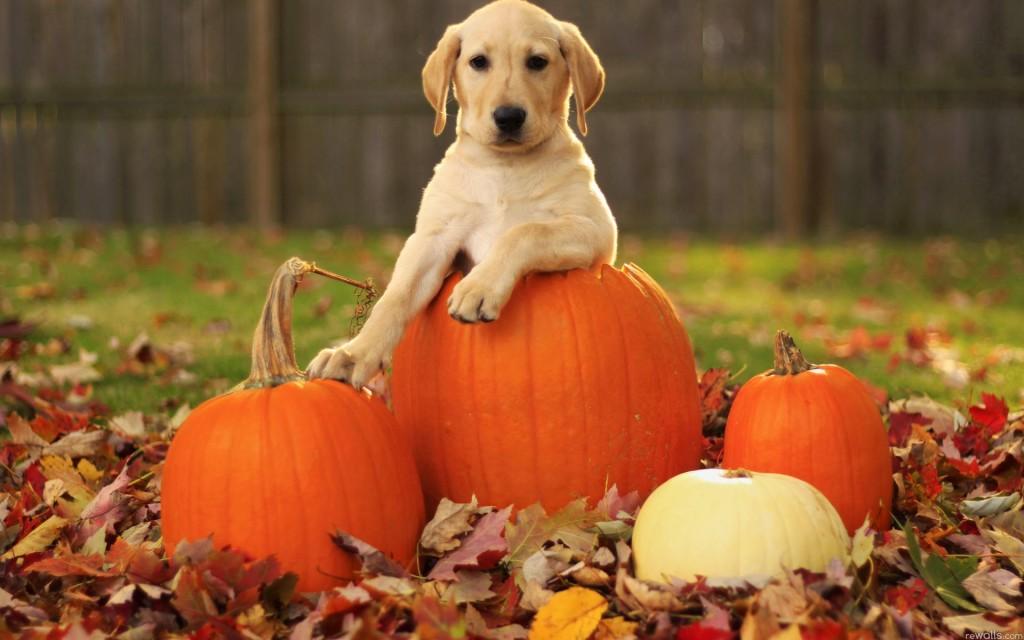 wallpaper Cute Puppy Fall Thanksgiving hd wallpaper background 1024x640