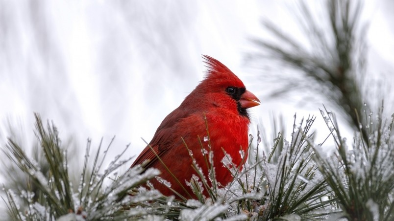 Current location Home Animals Birds Cardinal bird wallpaper 804x452
