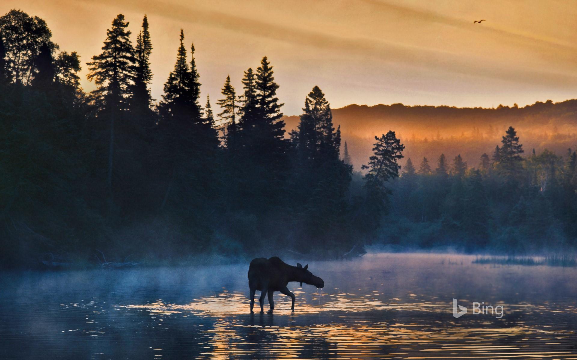 Western moose in Isle Royale National Park Michigan   Bing 1920x1200