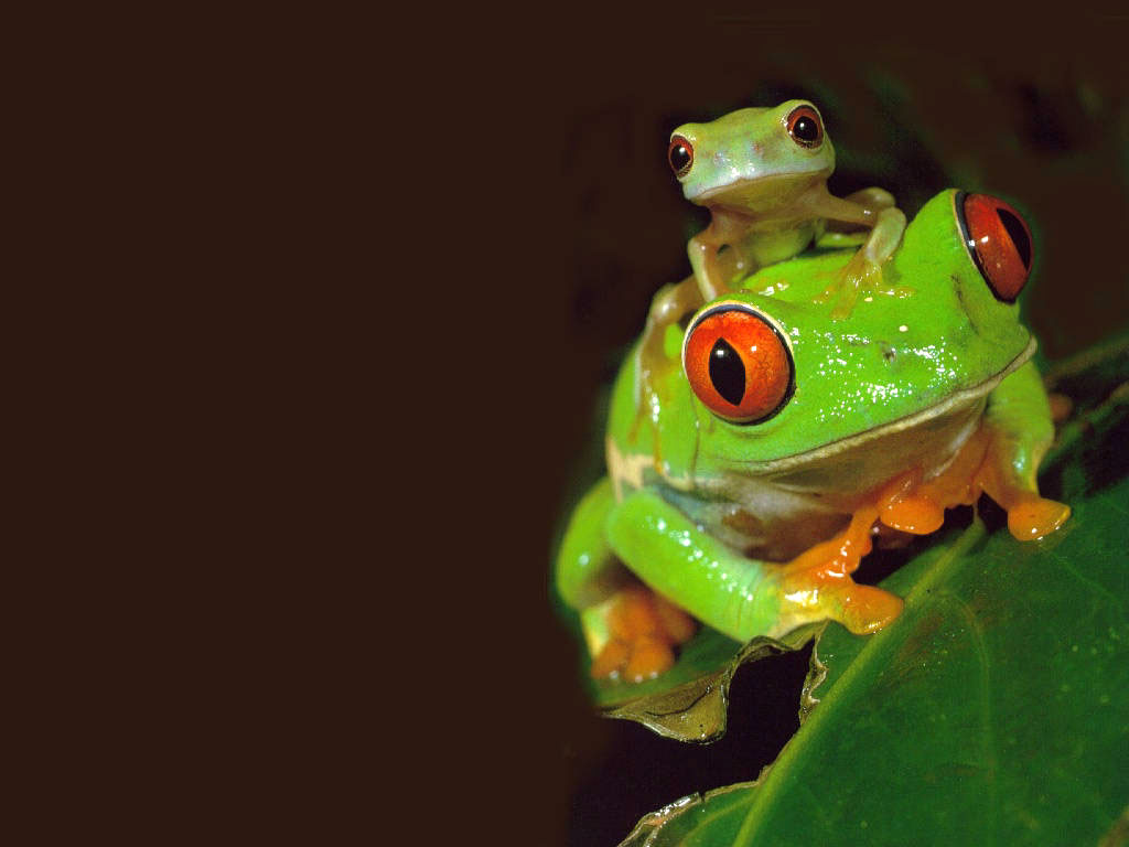 Frogs Wallpaper   Cute Little Frogs Wallpaper 1024x768