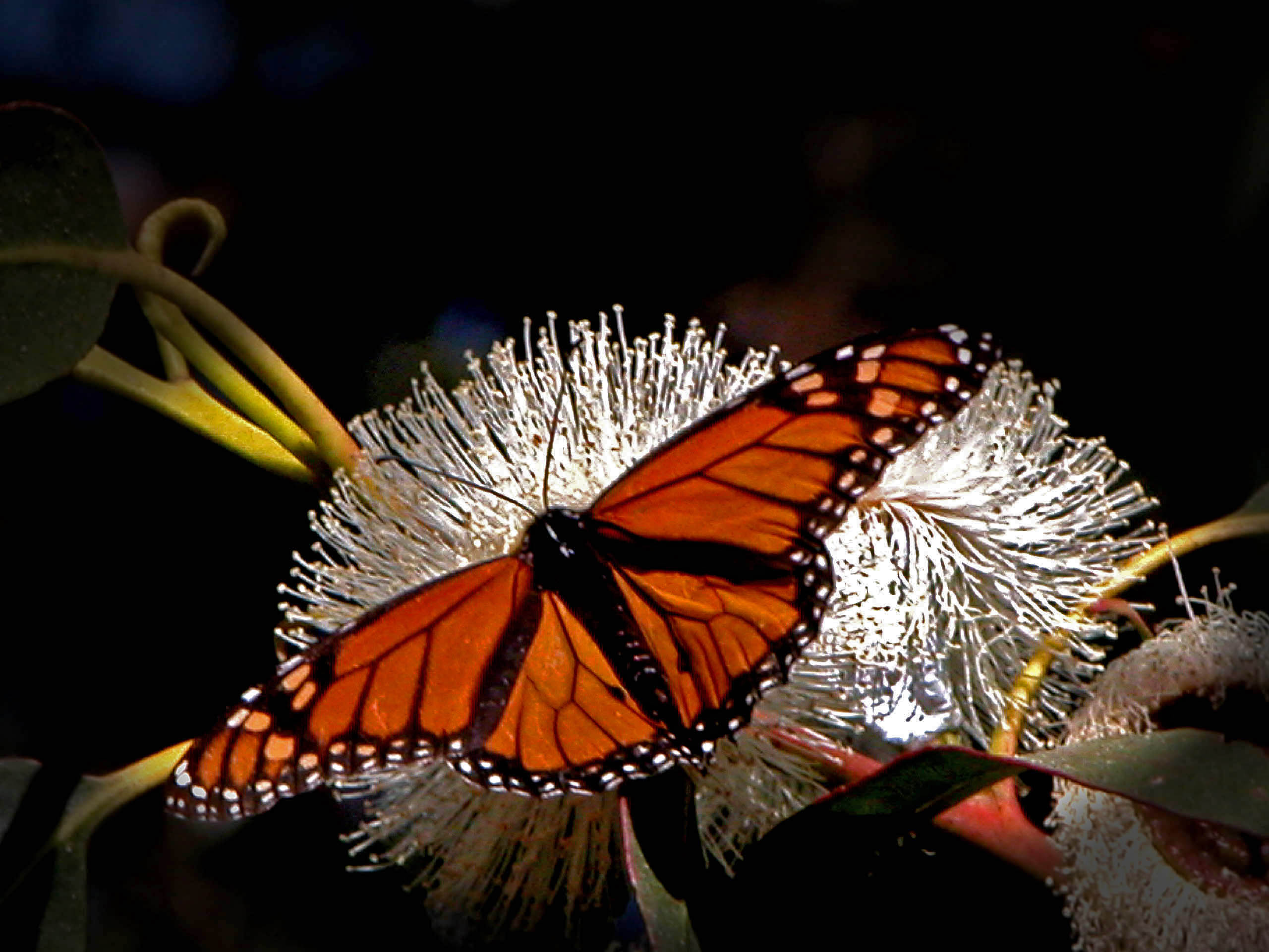Monarch Butterfly Wallpaper HD 21102   Baltana 2560x1920