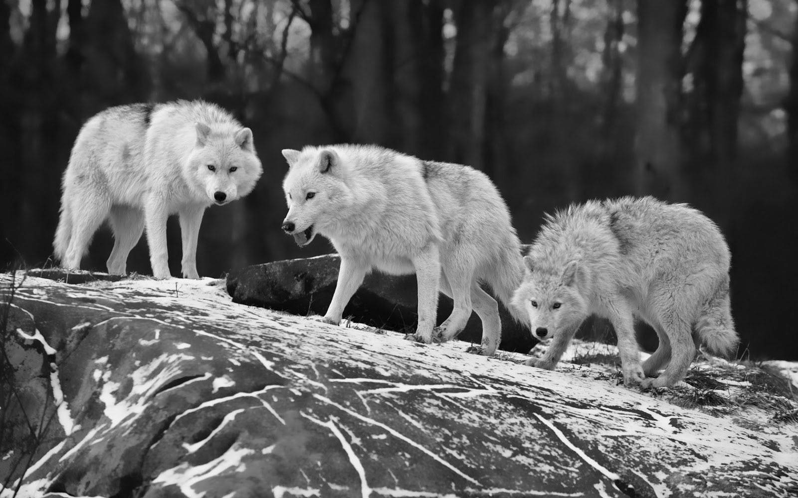 Free Download Black And White Wallpaper With Three Wolves On