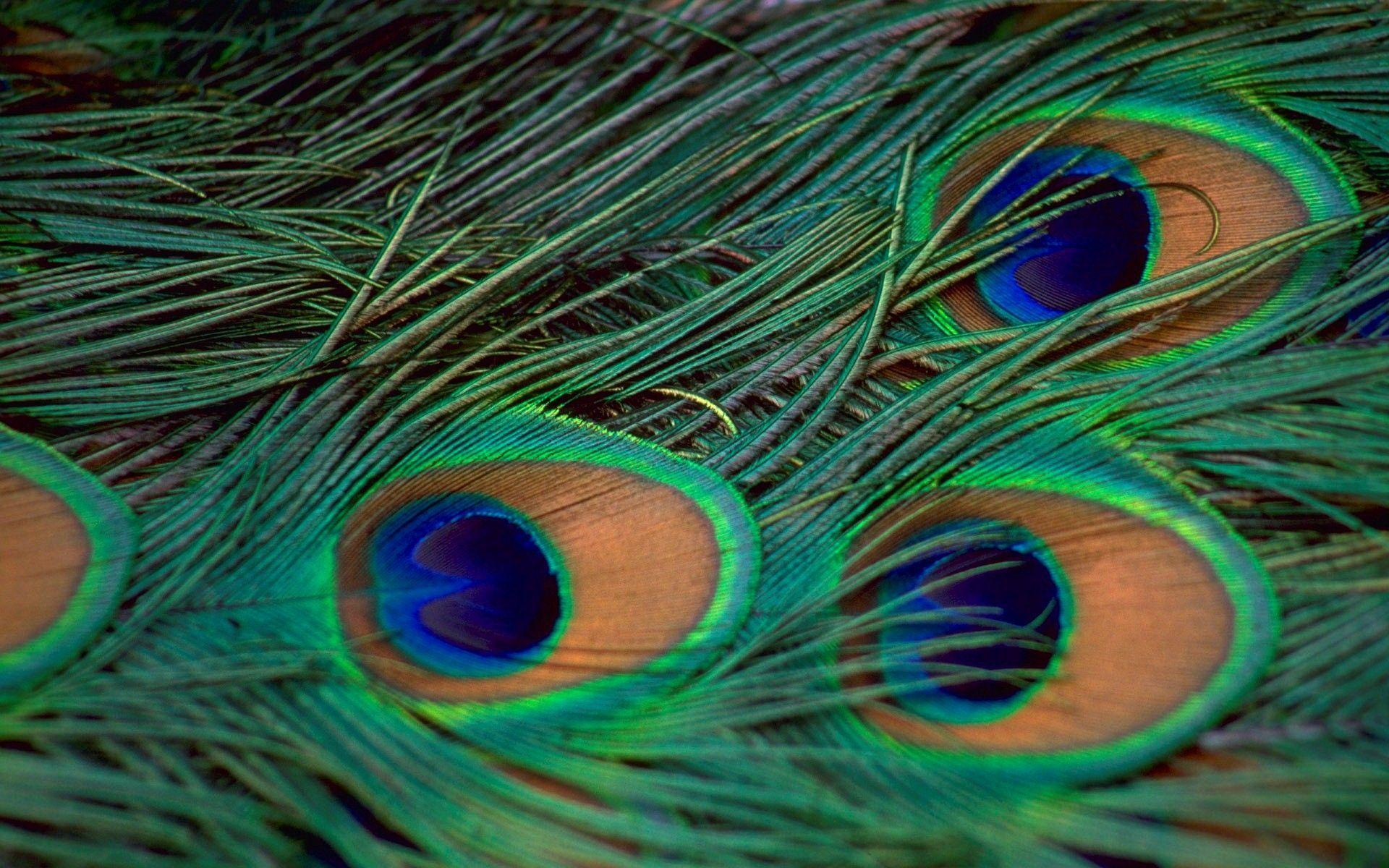 Wallpapers Of Peacock Feathers HD 2017 1920x1200