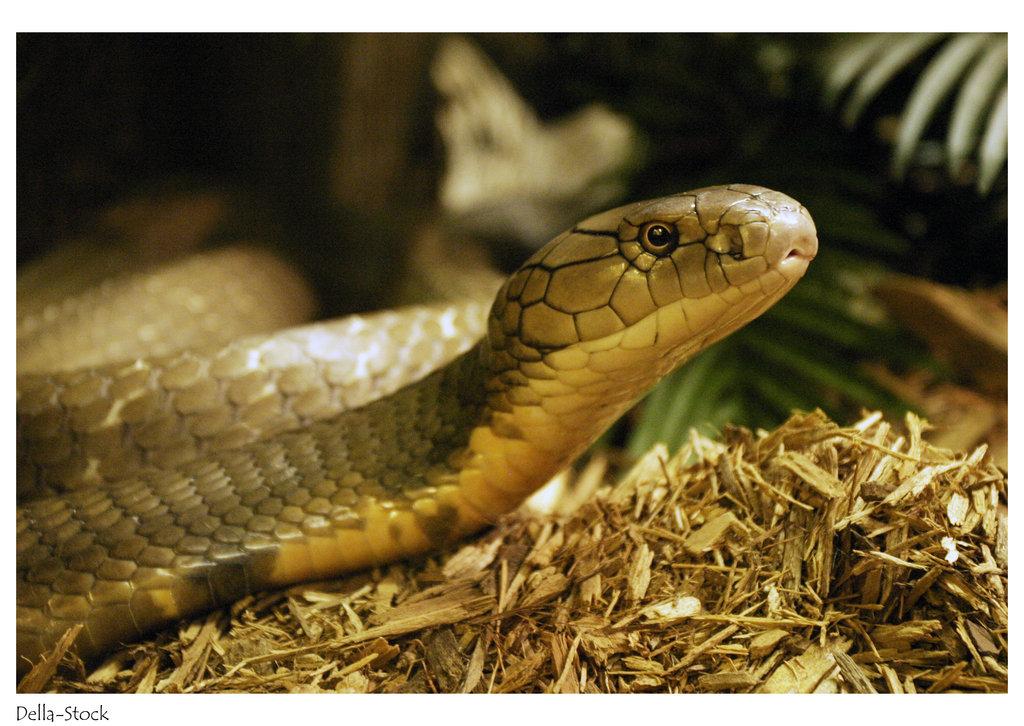 King Cobra Snake Photos: King Cobra Wallpaper