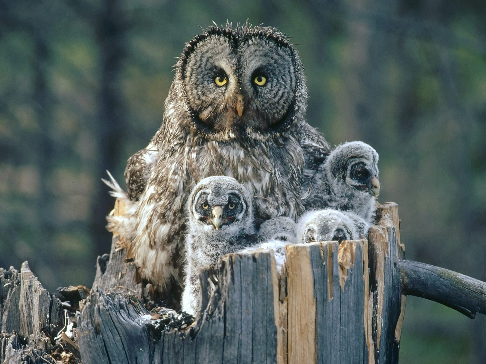 Free Download Great Gray Owl Wallpapers Great Gray Owl Great