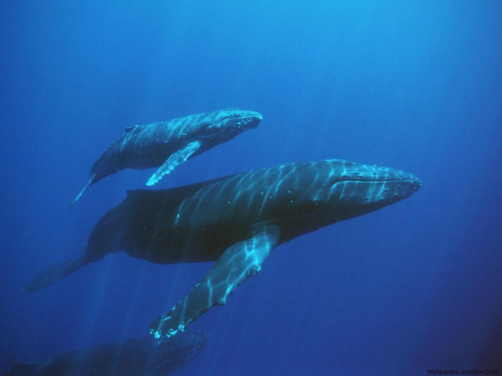 Blue Whale Wallpapers 1024x768