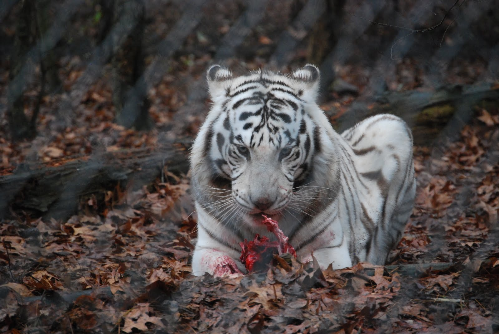 tiger wallpaper widescreen - photo #31