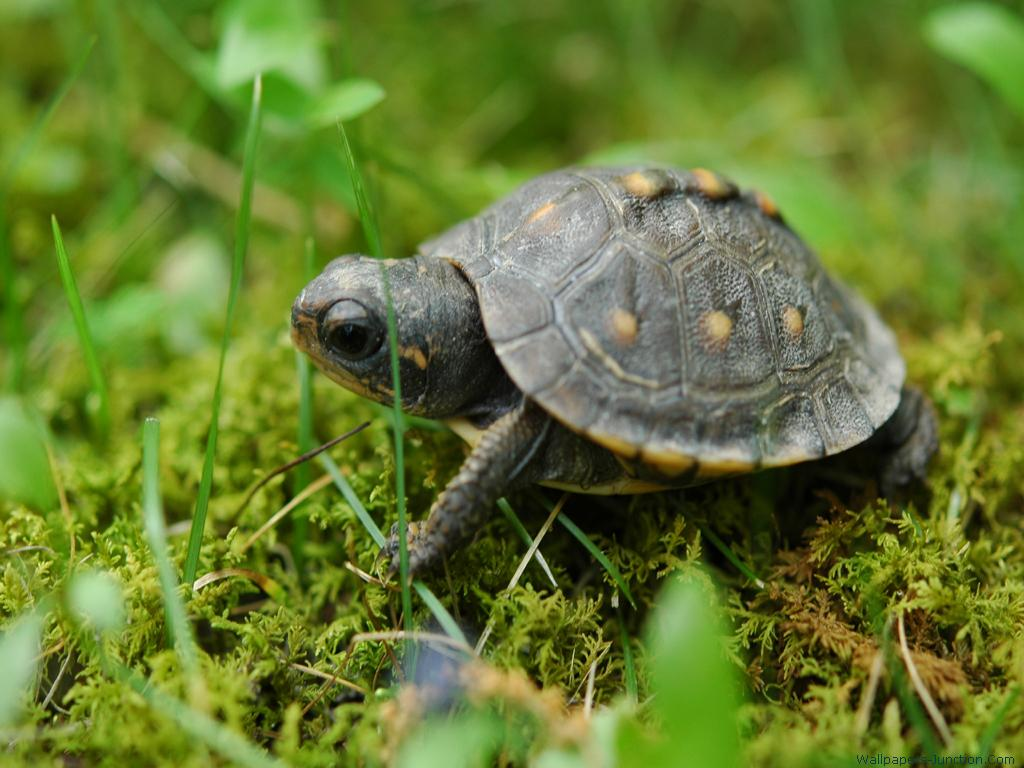 Turtle Wallpapers 1024x768
