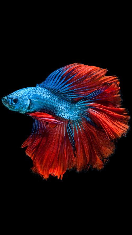 iPhone 6s Wallpaper with Read and Blue Betta Fish and Dark Background 500x889