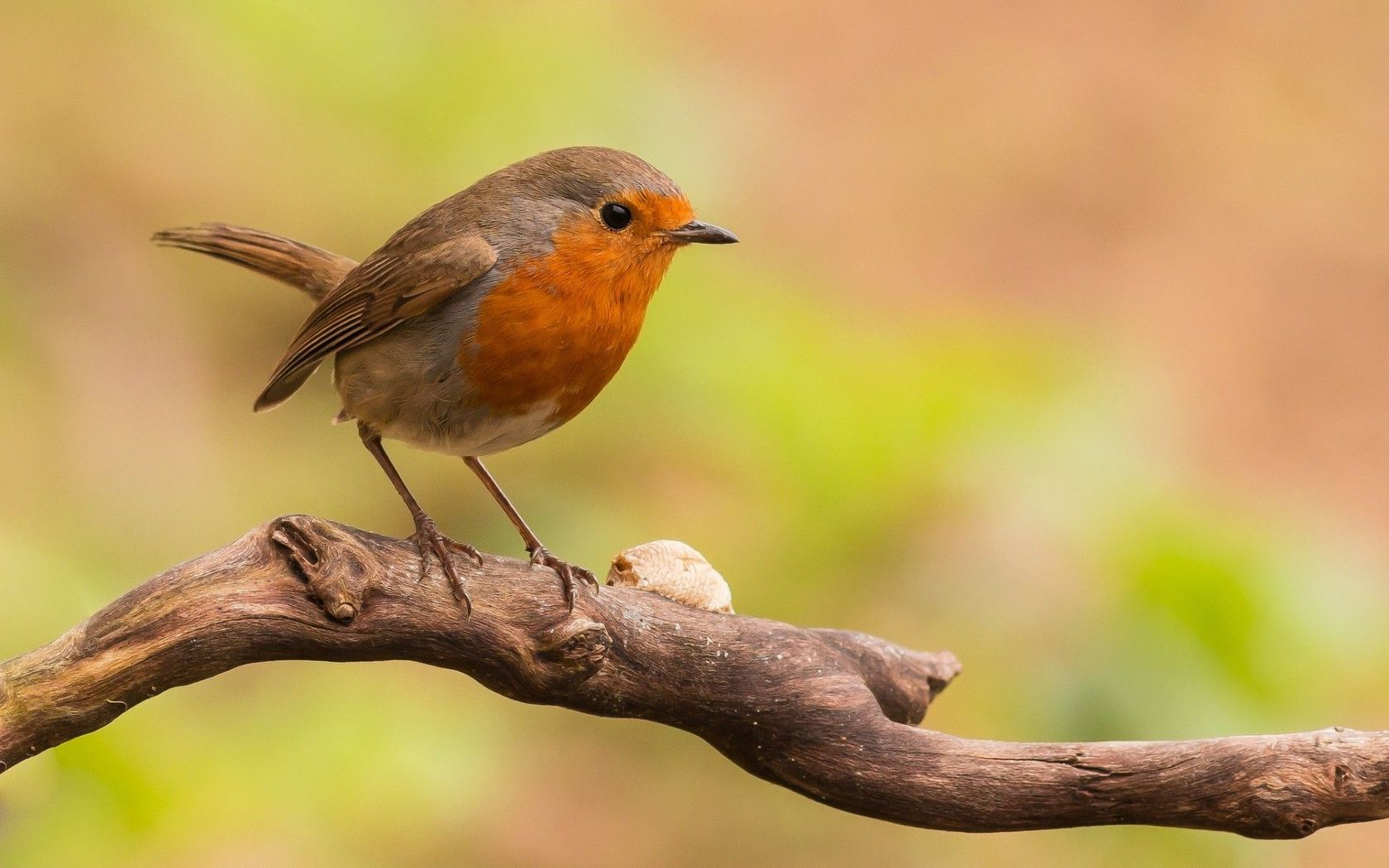 Download Small bird on the branch wallpaper 1680x1050